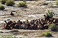 چرای گله شتر - حوالی کاروانسرای دیر گچین قم - پارک ملی کویر 01.jpg