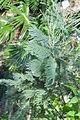 აკაცია ლეგა Acacia dealbata gelbe Mimose, Silberakazie 2.JPG
