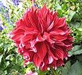 大麗花 Dahlia England's Glory -香港花展 Hong Kong Flower Show- (39218558980).jpg