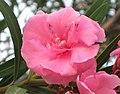 夾竹桃-重瓣 Nerium oleander -香港彭福公園 Penfold Park, Hong Kong- (9193429046).jpg