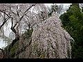 川井家の枝垂れ桜 - panoramio.jpg
