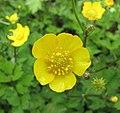 毛莨屬 Ranunculus acris -比利時國家植物園 Belgium National Botanic Garden- (9216068144).jpg