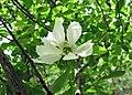 白鵑梅 Exochorda racemosa -武漢植物園 Wuhan Botanical Garden- (9237373847).jpg