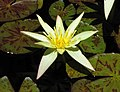 睡蓮 Nymphaea Sunshine -悉尼植物園 Royal Botanic Gardens, Sydney- (45707834914).jpg