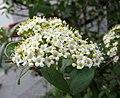 綿毛莢迷 Viburnum lantana -德國柏林 Berlin, Germany- (27490763021).jpg