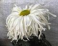 菊花-瑤台玉鳳 Chrysanthemum morifolium 'Fairy Terrace Jade Phoenix' -香港圓玄學院 Hong Kong Yuen Yuen Institute- (12009938385).jpg