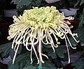 菊花-鉤環型 Chrysanthemum morifolium Curlies-tubular-series -上海共青森林公園 Shanghai, China- (9219891509).jpg