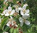 變葉海棠 Malus toringoides -比利時國家植物園 Belgium National Botanic Garden- (9240257268).jpg