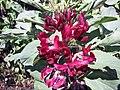 野豌豆屬 Vicia faba 'Crimson-Flowered' -澳洲 Heronswood Gardens, Australia- (10799926636).jpg