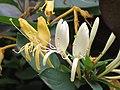 金銀花 Lonicera japonica -香港梅樹坑公園 Mui Shue Hang Park, Hong Kong- (9255243674).jpg