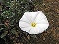 銀旋花 Convolvulus cneorum -比利時 Ghent University Botanical Garden, Belgium- (9237475723).jpg