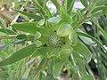 銀葉樹屬 Leucadendron Inca Gold -英格蘭 Wisley Gardens, England- (9219876867).jpg