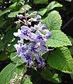 香茶菜屬 Plectranthus fruticosus -比利時國家植物園 Belgium National Botanic Garden- (9200881044).jpg