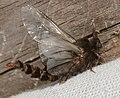 - 0457 – Thyridopteryx ephemeraeformis – Evergreen Bagworm Moth (29370955897).jpg