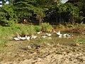 0006jfLandscapes Ducks Grass Roads Maronquillo San Rafael Bulacanfvf 06.JPG