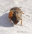 01 04 09a (8) Coleoptera (3420301600).jpg