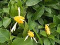03368jfUnidentified Yellow flowers insects Philippinesfvf 14.jpg