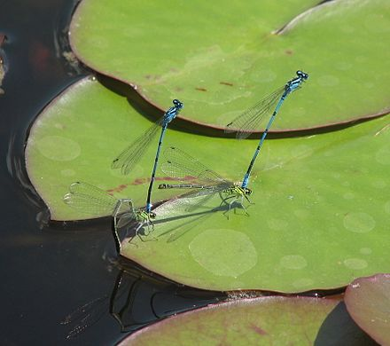 Ovipositing flight of two azure damselfly couples (Coenagrion puella) 070526 142326 Libellen cr.jpg