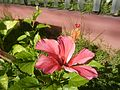 0879jfHibiscus rosa-sinensis Pinkfvf 08.jpg