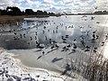 1029.DeHeld.Vinkhuizen.Westpark.Rietvelden.Waterskivijver.Natuur.Watervogels.Eenden.jpg