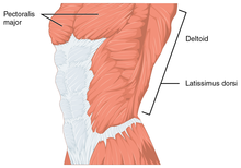 the function of the pectoralis major is different for its different heads   the clavicular head flexes the humerus, and the sternocostal head adducts  the