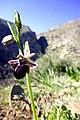 1503 Ophrys mammosa.jpg
