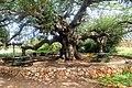 16-0596-101 תל קדש-עץ ענק.JPG