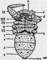 1911 Britannica-Arachnida-Cryptostemma Karschii3.png