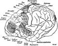 1911 EB Chimpanzee Brain.png