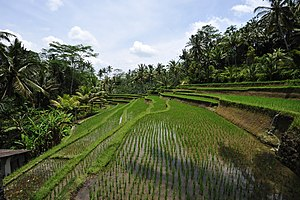 Gunung Kawi - Rice fields (sawah) at the entrance to Gunung Kawi Temple