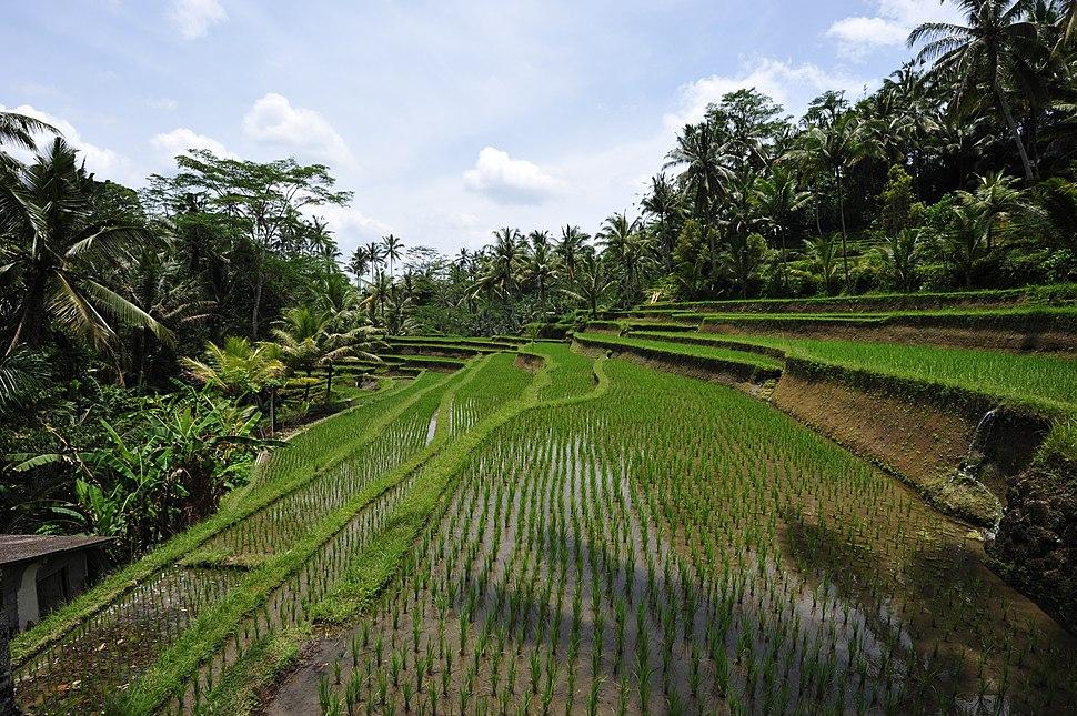 1 bali rice terrace 2011