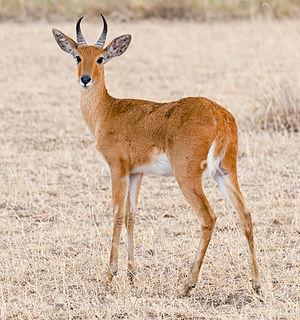 Bohor reedbuck species of mammal