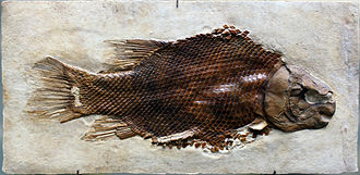 Spinosauridae - A fossil of the fish Scheenstia, prey of Baryonyx