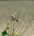 2013.06.27.-07-Ahrensberg-Grauammer Weibchen.jpg