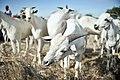2013 04 14 Bakara Animal Market C.jpg (8654668516).jpg