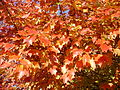 2014-10-30 10 08 31 Red Maple foliage during autumn along Dunmore Avenue in Ewing, New Jersey.JPG