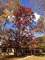 2014-11-02 11 31 56 White Oak during autumn along Lower Ferry Road in Ewing, New Jersey.JPG