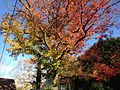 2014-11-02 15 17 31 Sweet Gum during autumn along Pingree Avenue in Ewing, New Jersey.jpg