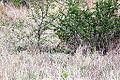 2014-11-23 08h06 Panthera leo anagoria.JPG