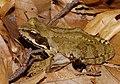 2014.07.17.-29-Zadlitzgraben Pressel--Grasfrosch-Weibchen.jpg