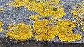 2014.11.06 - Xanthoria parietina 1.jpg