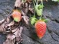 20140529Fragaria × ananassa.jpg