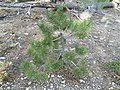 2015-04-30 08 06 42 Ponderosa Pine sapling with cones along the Trail Canyon Trail in the Mount Charleston Wilderness, Nevada about 1.7 miles north of the trailhead.jpg