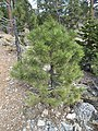 2015-04-30 15 53 28 Ponderosa Pine sapling along the Trail Canyon Trail in the Mount Charleston Wilderness, Nevada about 2.0 miles north of the trailhead.jpg