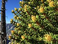 2015-07-13 07 51 18 Great Basin Bristlecone Pine foliage and pollen cones along the North Loop Trail about 5.7 miles west of the trailhead in the Mount Charleston Wilderness, Nevada.jpg