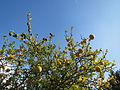 20151019Citrus trifoliata2.jpg