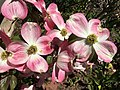 2016-04-20 12 08 46 'Cherokee Brave' Pink Flowering Dogwood blossoms along Tranquility Court in the Franklin Farm section of Oak Hill, Fairfax County, Virginia.jpg