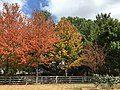 2016-09-17 13 36 10 Red Maples displaying early autumn leaf coloration due to drought along Franklin Farm Road in the Franklin Farm section of Oak Hill, Fairfax County, Virginia.jpg
