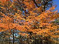 2016-10-25 13 03 33 Sugar Maple with autumn foliage at the Browntown Valley Overlook along Shenandoah National Park's Skyline Drive in Warren County, Virginia.jpg
