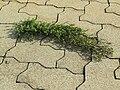 2017-10-31 (813) Polygonum aviculare (common knotgrass) at Bahnhof Markersdorf an der Pielach.jpg